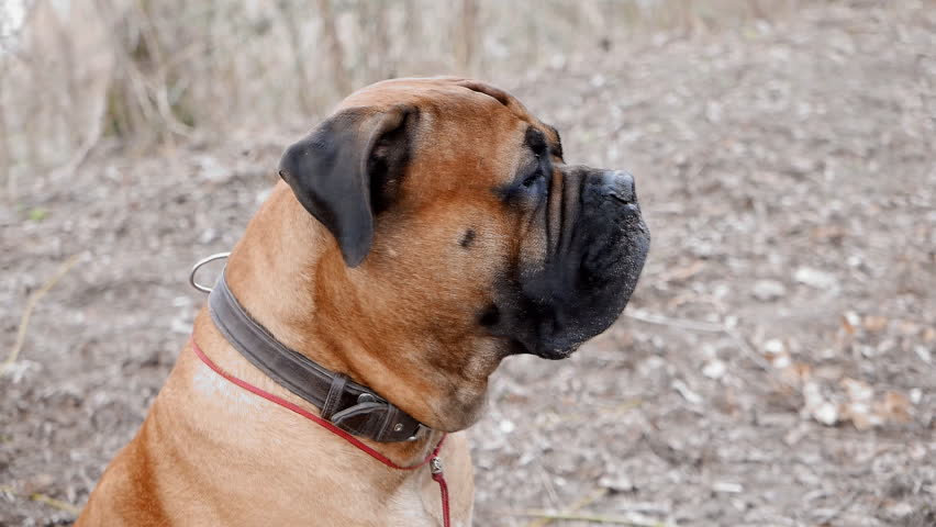 English Mastiff dog breed in the park #15217639