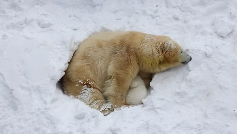 The family of polar bears digs a den. The happy bear cub plays with mother.