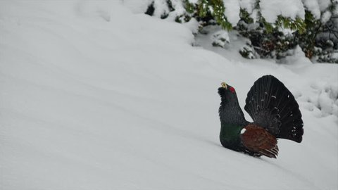 Eurasian bird species - the large forest grouse Western Capercaillie (Tetrao urogallus). A playing male. Footage with sound.