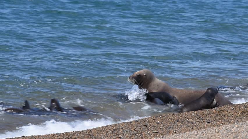 Patagonia sea lion seal on the sandy beach #15259027