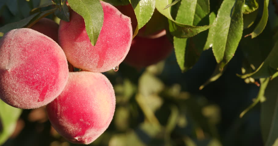 4K close up view of a Bunch of ripe peaches growing on a fruit tree on a large scale commercial fruit farm | Shutterstock HD Video #15266827