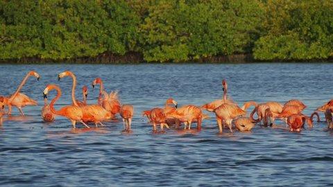 flock of pink flamingos into a salt lagoon feeding picking fish at rio lagartos mexico