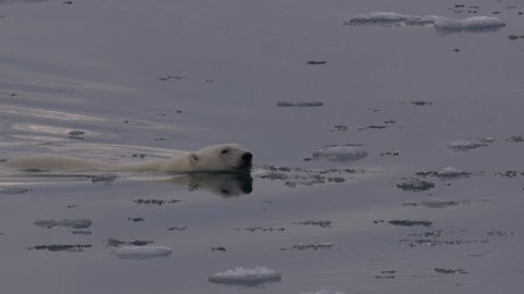 Slow motion - polar bear cub follows its mother through the broken sea ice in late afternnon, then the mother begins to climb out of the water - A014 C058 0718EF 001