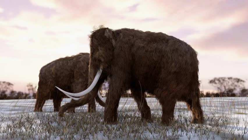 An animation of Woolly Mammoths digging for grass roots in a snowy field with a sunset sky. The extinct Woolly Mammoth was an enormous mammal that once roamed the vast Ice Age northern landscapes.