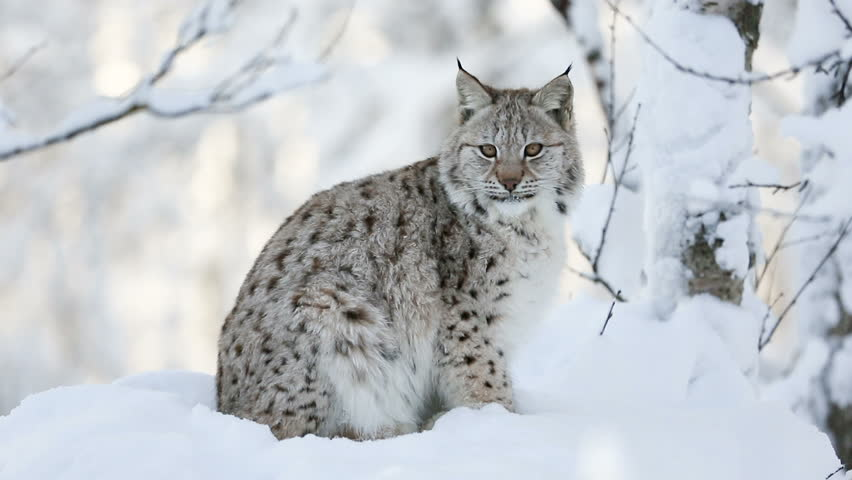 Young lynx cub in the cold winter forest