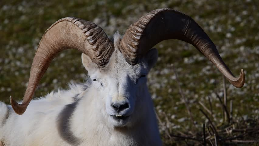 Dall sheep (Dall's sheep), Ovis dalli, is a species of sheep native to northwestern North America.