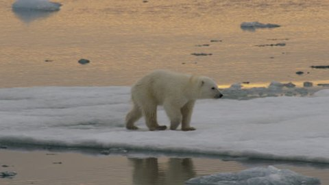 Slow motion - polar bear cub walks across ice and leaps slushy gap between bergs over reflection in late arctic afternoon - A014 C055 0718IS 002 C
