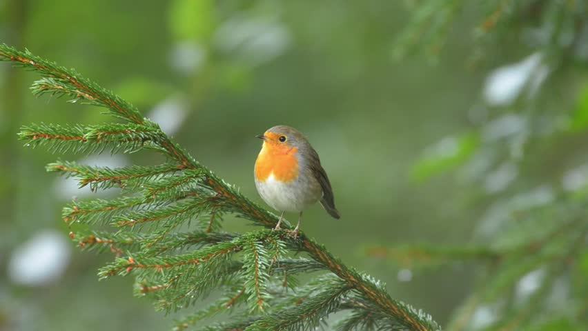 European Robin in the natural green forest environment. | Shutterstock HD Video #15424657