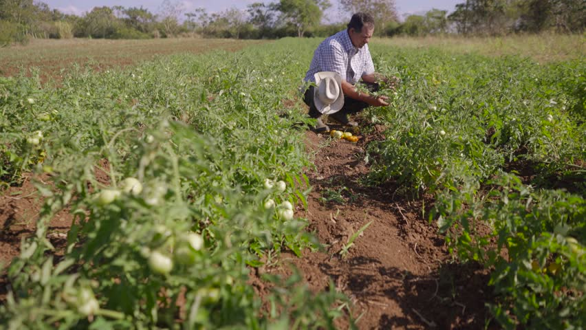 Farming and cultivations in Latin America. Farmer walking in tomato field, inspecting the quality of plants and vegetables. He checks that there are no pest on leaves. Low angle, dolly shot.  | Shutterstock HD Video #15478042