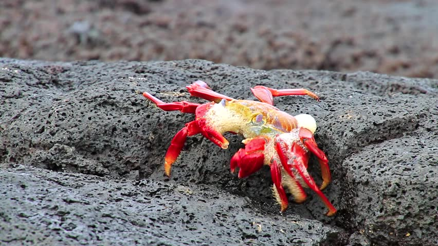 Sally lightfoot crab (Grapsus grapsus) molting on Chinese Hat island, Galapagos National Park, Ecuador | Shutterstock HD Video #15525697