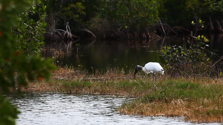 Wood Stork, Mycteria americana, in Everglades - HD stock footage clip