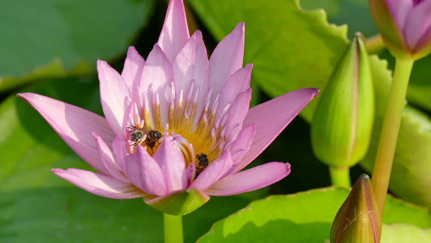 Time lapse opening of water lily lotus flower blooming stock lotus flower hd stock footage clip mightylinksfo