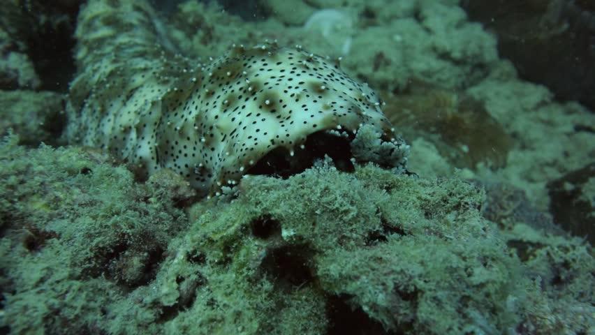 Graffes sea cucumber feeding underwater at Paton, Phuket Thailand