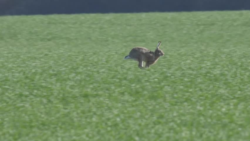 Slow motion of a a European hare running across a field of wheat