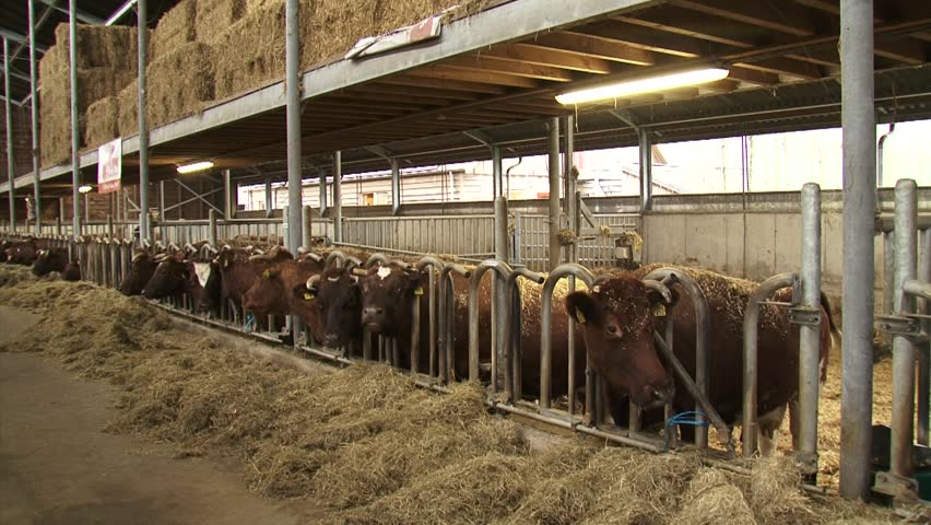 Row of Dutch Deep Red cattle in a deep litter cowshed - wide shot. A deep litter barn is an animal housing system, based on the repeated spreading of straw or sawdust material indoor.