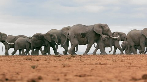 Low angle locked off shot of a herd of elephants