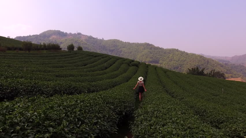 Aerial shooting from remote drone of a young woman tourist is walking along tea plantations in Asia during her the long awaited summer trip. Hipster girl is enjoying smell the coffee bushes