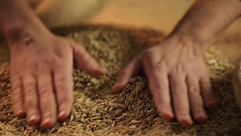Agriculture worker touching dry oat seeds with hands, good cereal grain harvest. Farmer checking corn quality, farming industry, rural labor result. Agro business, organic production, selection sort