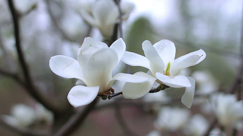 White magnolia flowers flowers of white magnoliawhite magnolia white magnolia flowers flowers of white magnoliawhite magnolia white magnolia flowers on tree branch magnolia tree blossom white magnolia blossoms mightylinksfo Images