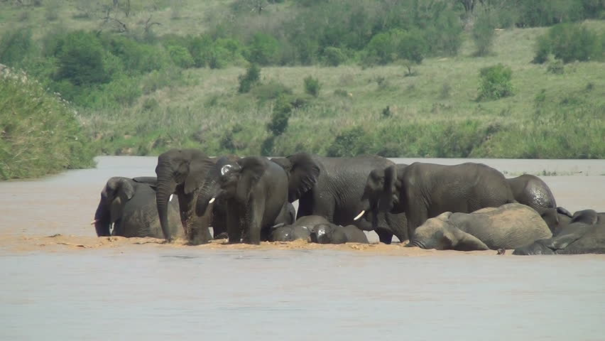African elephants bathing in the river