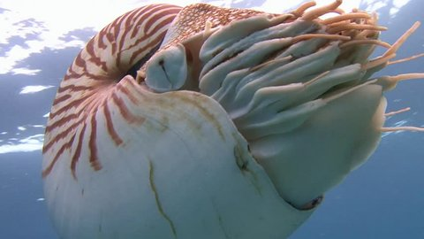 Exciting dives with amazing mollusks the Nautilus. Diving on the reefs of the Palau archipelago.