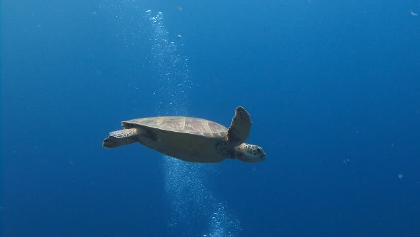 A fascinating dive with green turtles. Diving on the reefs of the Palau archipelago.