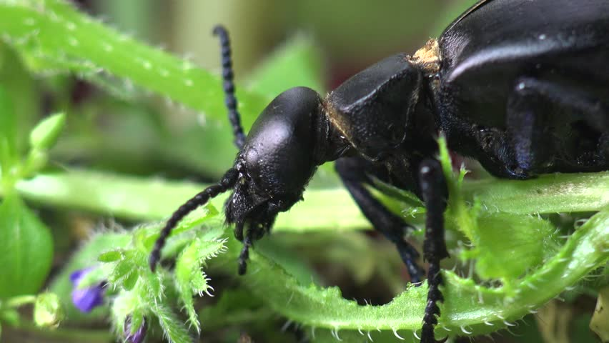 Big black bug insect  American Oil Beetles are type of Blister beetle   macro. Big Black Bug Insect  American Oil Beetles Eating Green Grass