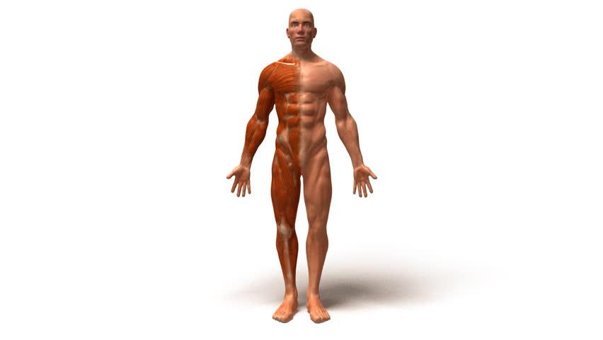 human body stock footage video 1190530 | shutterstock, Muscles