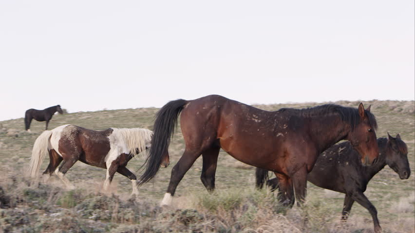 Group of wild horses walking down a hill in Utah. | Shutterstock HD Video #16221268