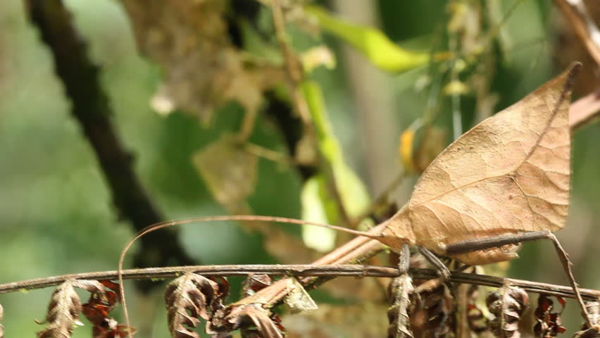 Leaf Mimic Katydid in the rainforest understory in the Ecuadorian Amazon