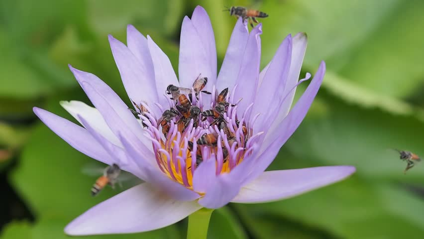Beautiful lotus flower with bees natural beautiful lotus flower in beautiful lotus flower with bees natural beautiful lotus flower in the garden on bright day and bees eating the nectar of the lotus flower mightylinksfo Choice Image
