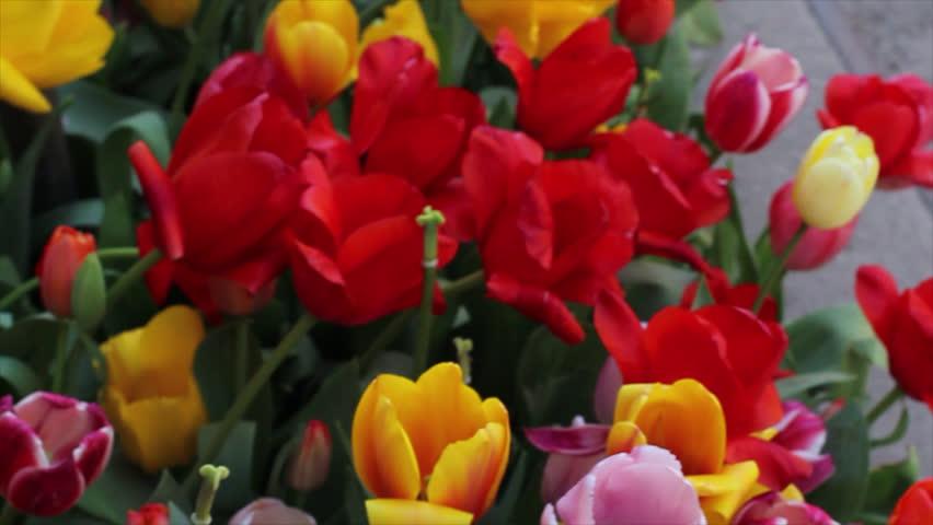 Pan Over Vivid Tulip Flowers in New York City Sidewalk Near Chainlink Fence  | Shutterstock HD Video #16316347