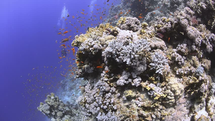 Pristine coral reef colony with scuba divers in the background.