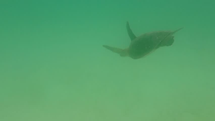 Green sea turtle swimming underwater in the Pacific Ocean within the Galapagos Island - Ecuador 2012 #16348087