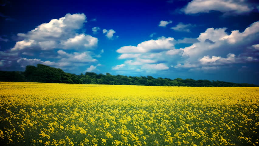 golden field under blue cloudy sky