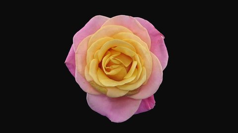 Time-lapse of dying pink-yellow Miss Piggy rose 2a3 in RGB + ALPHA matte format isolated on black background, top view