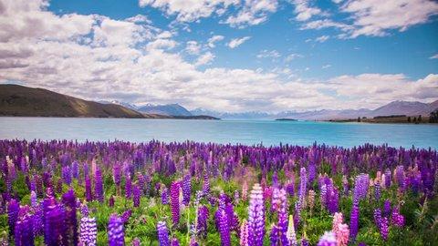 Time Lapse - Beautiful Lupine Flowers by Lake Tekapo, New Zealand