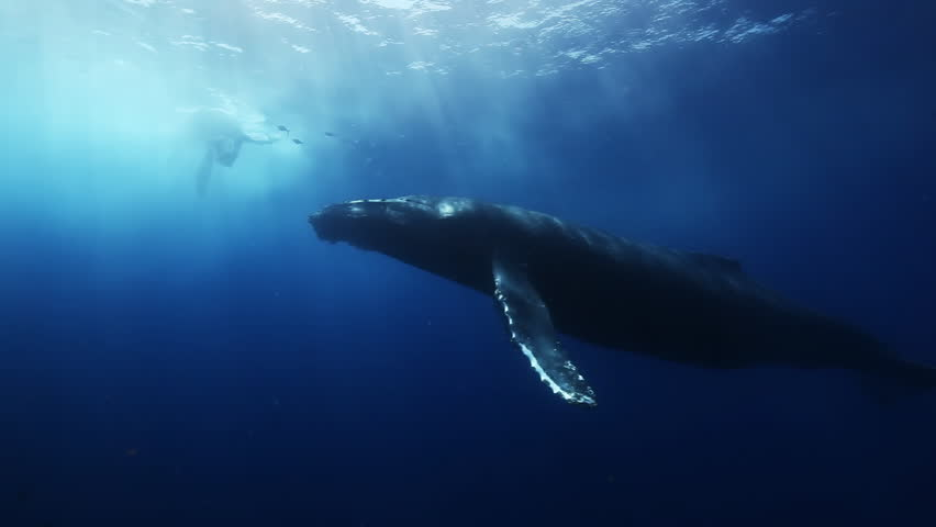 Giant Humpback Whales, megaptera novaeangliae mother and young calf in south pacific ocean in blue sea water swim around divers on background on surface of sun. Amazing unique underwater shooting.  | Shutterstock HD Video #16700329