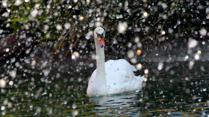 Magnificent, graceful swans swim amid falling flakes, slowed, 1080p