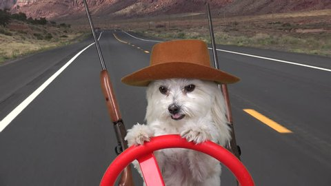 Maltese dog cowboy drives through mountains on country road with  two rifles, one on either side.