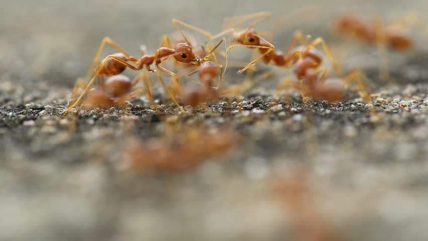 Close-up of red ant walk , eat and contact with together in shadow of tree in garden. | Shutterstock HD Video #16722472