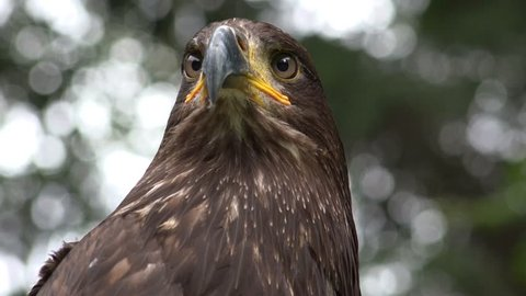 4k UHD Golden Eagle (Aquila chrysatheos) close up with nice green nature background bokeh is looking interested to the camera /  Bird of Prey - Golden Eagle looking to camera