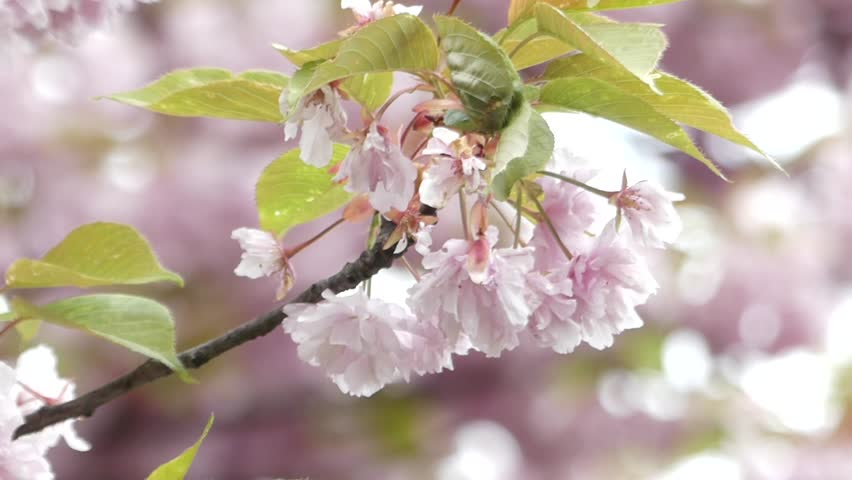 Pink Cherry Blossom Closeup. the Action in Slow Motion.   Shutterstock HD Video #16769587