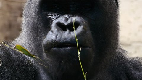 gorilla eating. Zoo Madrid, Spain. Filmed in May 2016.