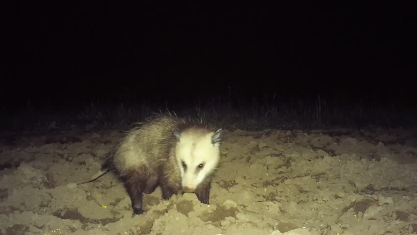 Opossum (Didelphis virginiana), the only marsupial in North America north of Mexico, scavenging on an May night in Georgia.