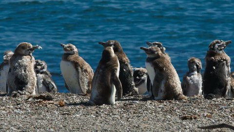 A group of Magellanic penguin chicks on the beach at Valdes Peninsula, Argentina