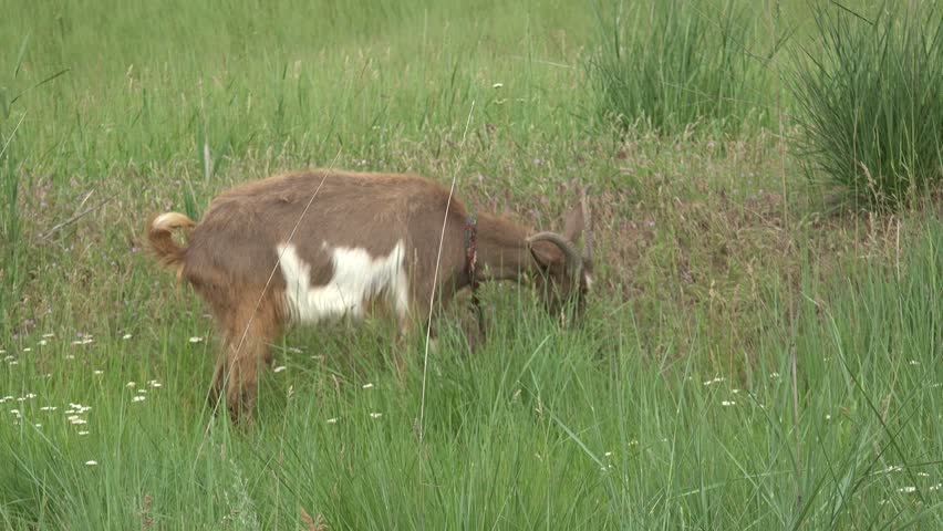 Young Goat beige, grazing on green meadow at edge of hillside