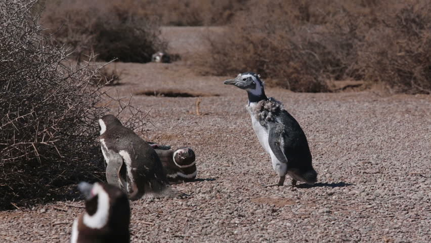 A group of Magellanic penguin at Valdes Peninsula in Argentina