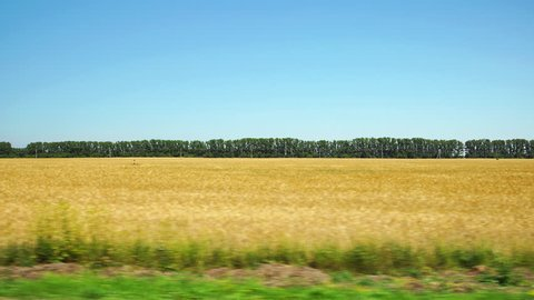 POV: Moving along a yellow agricultural field and row of trees on background in Altai, Russia