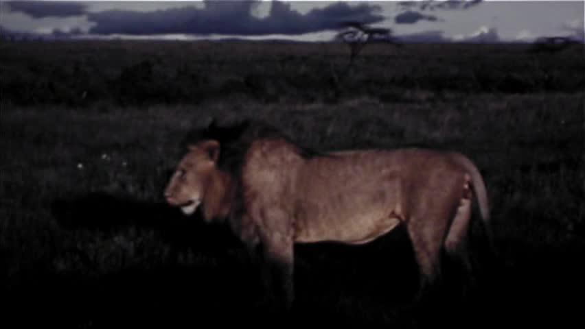 Lion In Africa - Vintage 8mm